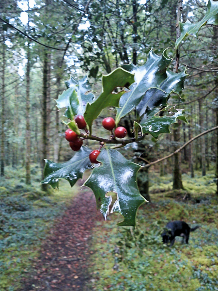 Holly Path